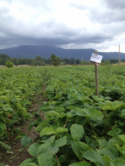 Looking down a row of strawberries with a sign indicating Honey Eye variety