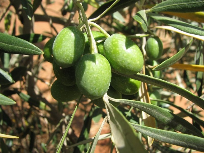 Olive bunch in the tree